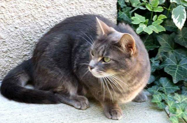 Бразильская короткошерстная кошка во дворе