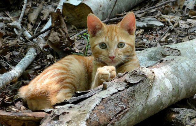 Бразильский короткошерстный котенок
