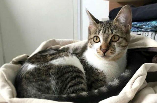 Бразильская короткошерстная кошка в домашних условиях