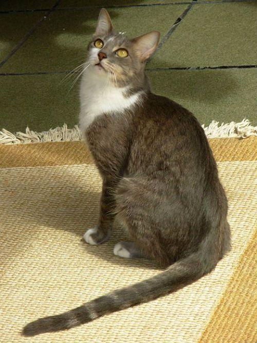 Бразильская короткошерстная кошка - экстерьер