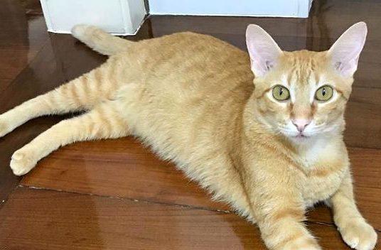 Бразильская короткошерстная кошка рыжего окраса