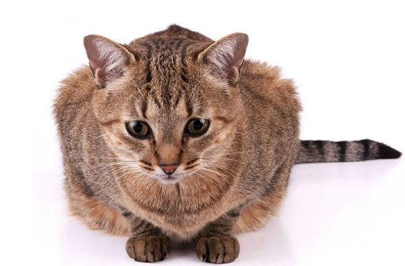 Бразильская кошка короткошерстная
