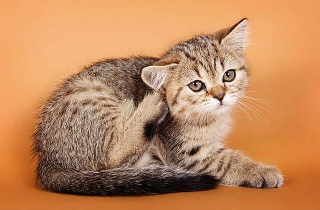 Чем можно уничтожать блох у котят