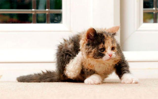 Котенок чешется от блох