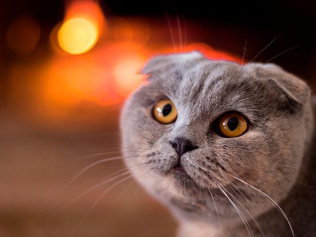 Уход за шотландской вислоухой кошкой