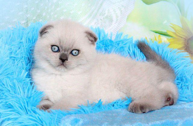 Окрасы шотландских кошек - колор-поинт