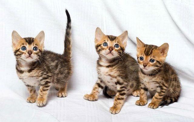 Как выбрать бенгальского котенка
