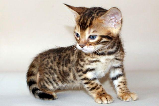 Маленький бенгальский котенок