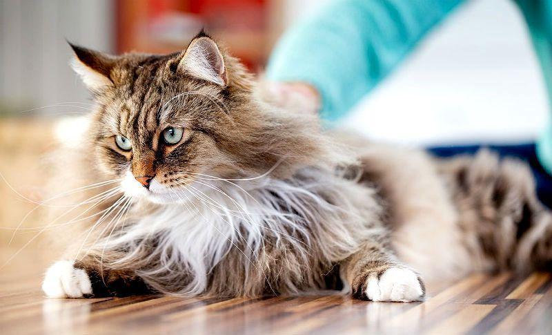 Как вытащить клеща из тела кошки