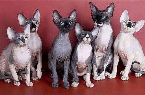 Канадский сфинкс - котята