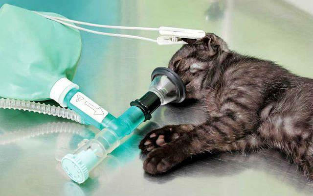 Кастрация кота - наркоз