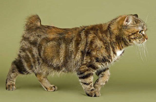 Взрослый кот Кимрик