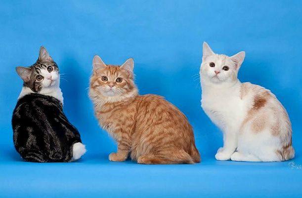 Котята породы Кимрик