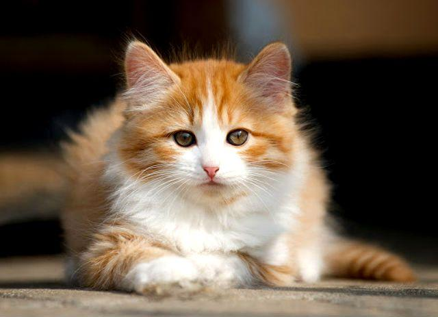 Рыжий котенок породы Кимрик