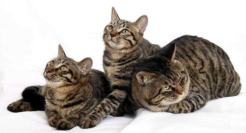 Китайская кошка ли хуа - главное фото