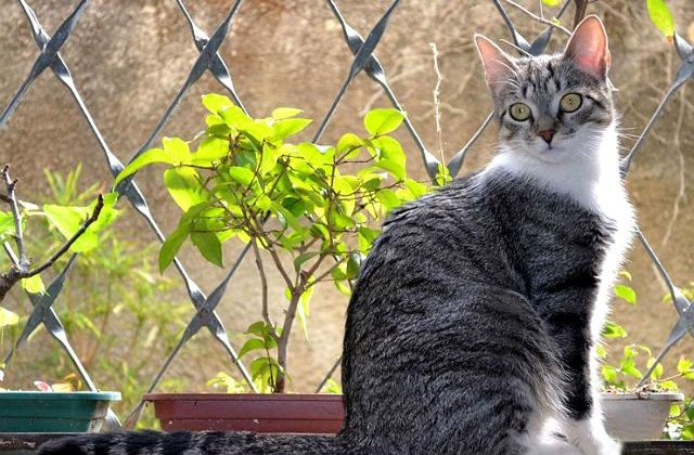 Короткошерстная бразильская кошка - вид сбоку