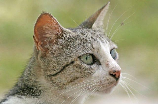 Короткошерстная бразильская кошка