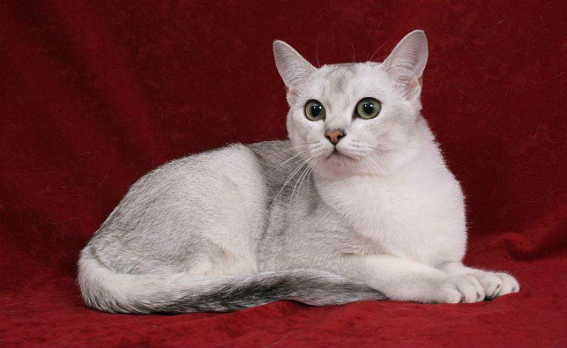 Кошка бурмилла - главное фото