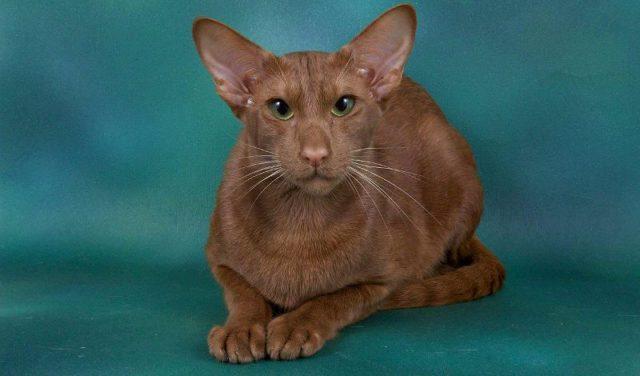 Кошка гавана браун - главное фото