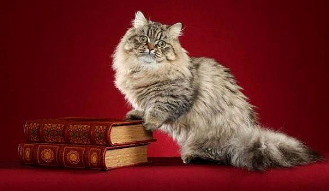Кошка с беличьим хвостом какая порода thumbnail