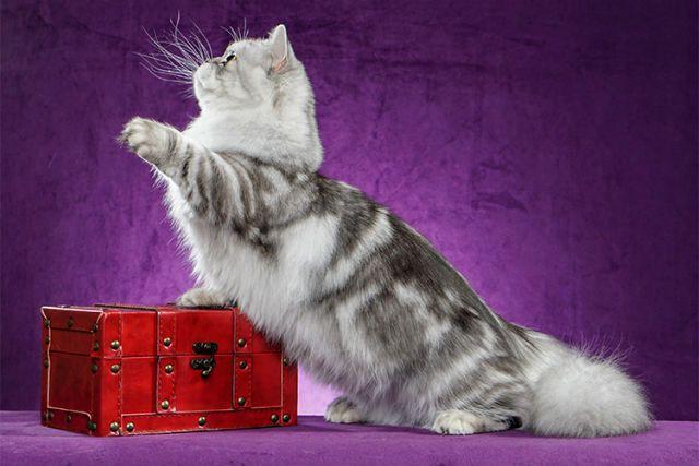 Кошка менуэт - порода с хвостом как у белки