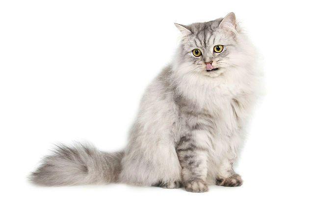 Кошка бурмилла длинношерстная