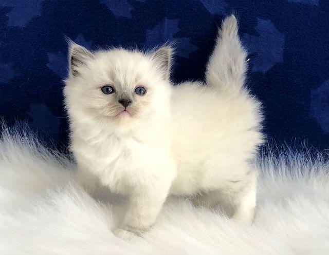 Рэгдолл - котенок