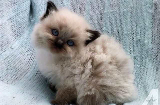 Маленький котенок рэгдолл