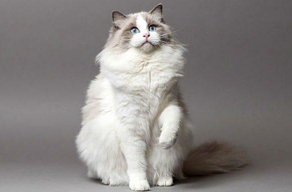 Кошка рэгдолл подняла лапку