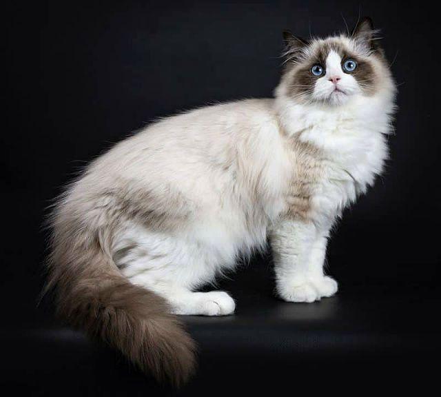 Кошка рэгдолл - внешний вид