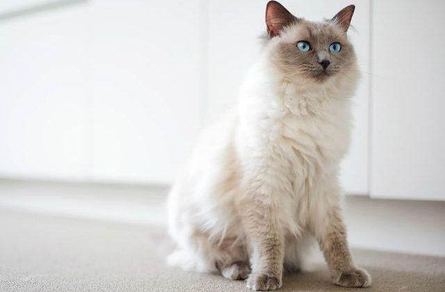 Кошка рэгдолл в домашних условиях