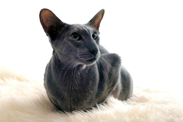Кот грузин - главное фото