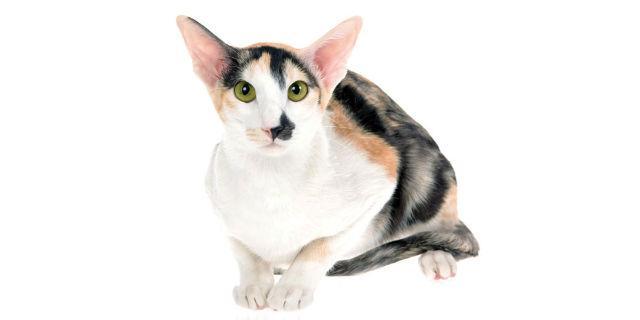 Кот грузин с зелеными глазами