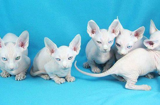 Белые котята бамбино