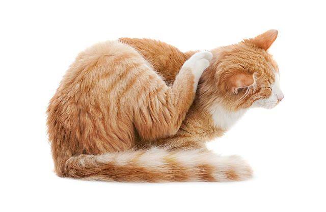 Могут ли блохи от кошки перейти на человека