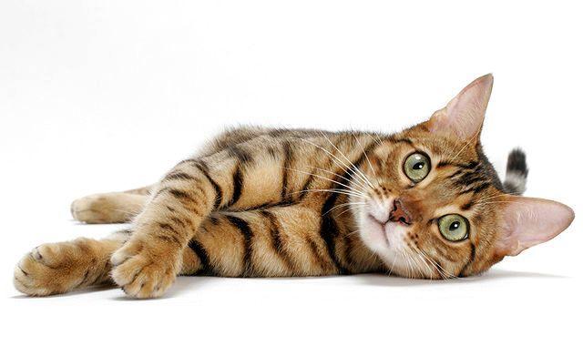 Может ли кошка вспотеть