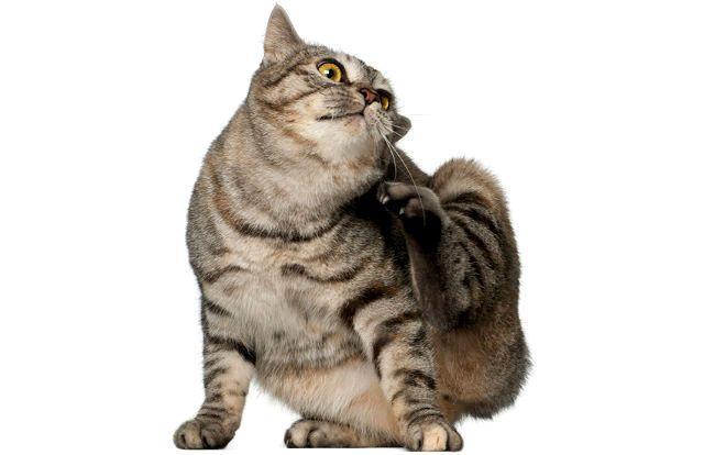 Отодектоз - зуд в ушах у кошки