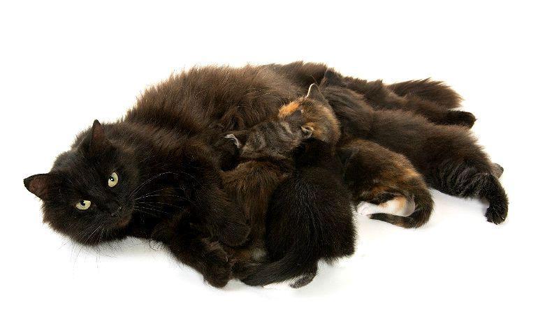 Нарушение лактации у кошки