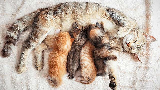Кормящая кошка и новорожденные котята