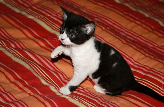 Немецкий рекс - черно-белый котенок