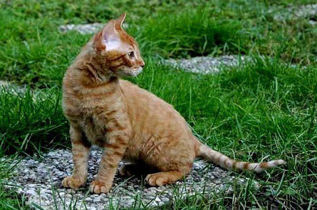 Немецкий рекс - котенок