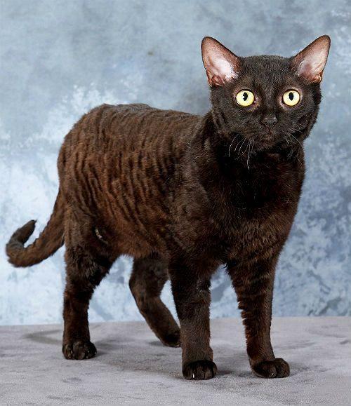 Немецкий рекс - кошка