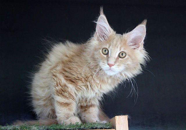 Котенок мейн-куна кремового окраса