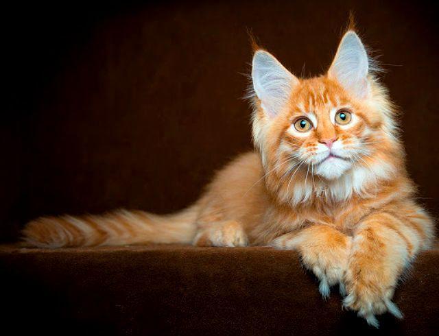 Котенок мейн-куна золотого окраса