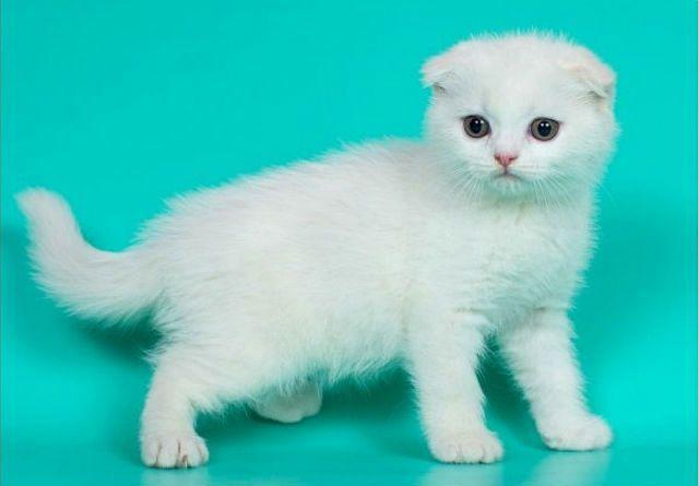 Окрасы шотландских кошек - белый