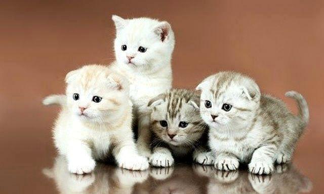Разноцветные котята шотландцы