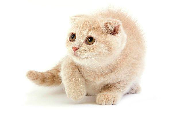Окрасы шотландских кошек - кремовый