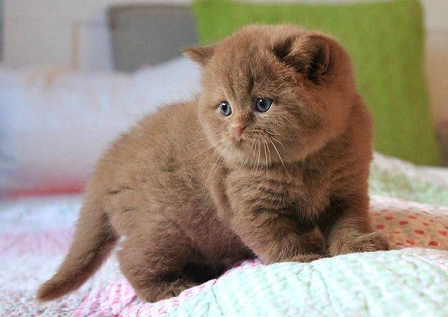 Окрасы шотландских кошек - циннамон