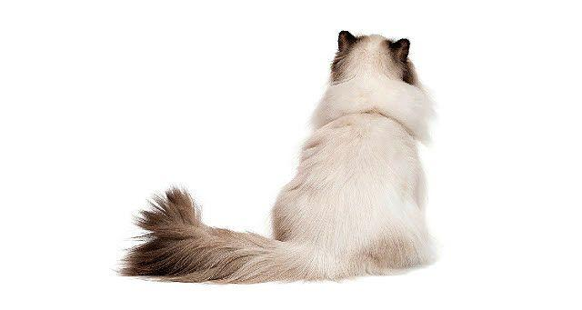 Параанальные железы у кошек
