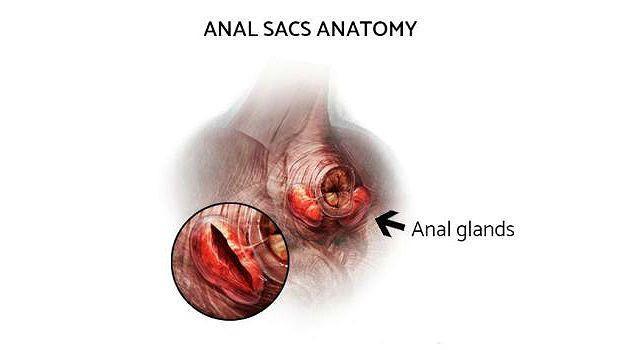 Анатомия анального отверстия у кошки